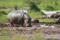 Hippos on water. On savana on Tanzania stock image