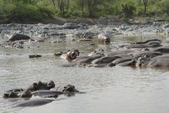 Hippos in the water Royalty Free Stock Images