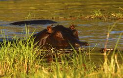 Hippos in the waters of the Okavango Delta. Hippopotamus are also known as River horses, very dangerous for humans as they will attack without provocation royalty free stock photos