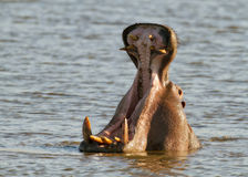 Hippos welcome. Hippos in South Africa shows his deadly weapons Stock Photography