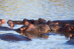 Hipposlaap in water Zuid-Afrika Royalty-vrije Stock Foto