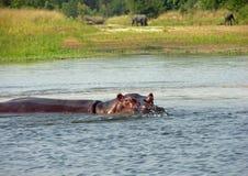 在水部分淹没的野生非洲河马尼罗中   免版税库存图片