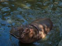 Hippotamus in thailand Stock Photo