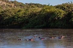 Hippotamus Wasser-wild lebende Tiere Stockbild
