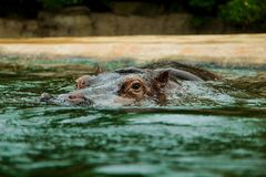 Hippopotamus in a water. in the zoo royalty free stock photography
