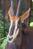 Hippotragus Нигер антилопы соболя в зоопарке Москвы Стоковые Изображения RF