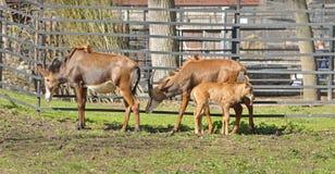 Hippotragus Нигер антилопы соболя семья младенца Стоковое Фото
