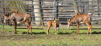 Hippotragus Нигер антилопы соболя семья младенца Стоковое Изображение
