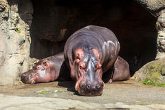 Hipppos solbada Arkivfoto