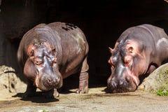 Hipppos solbada Arkivfoton
