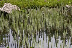 Hippuris vulgaris, Common Mares tail, Horsetail Stock Photography