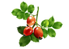 Hips branch with berries. Beautiful branch of wild rose with green leaves and red berries Royalty Free Stock Photos