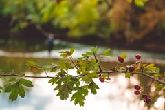 Hips on a branch in the fall in the forest near the river. royalty free illustration