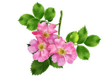Hips branch with flowers. Beautiful branch of wild rose with green leaves and pink flowers Royalty Free Stock Photo