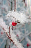 Hips on a bush in a fluffy snow Royalty Free Stock Image