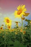 Εκλεκτής ποιότητας αναδρομικό ύφος hipster κίτρινος ηλίανθος στο πνεύμα γυαλιών ηλίου Στοκ φωτογραφία με δικαίωμα ελεύθερης χρήσης