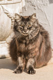 Hipster cat. Fuzzy old black Siberian cat sitting outdoor and looking straight Royalty Free Stock Images