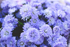 Hipster chrysanthemum purple. Background soft focus Royalty Free Stock Photo