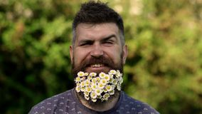 Hipster with daisies looks happy. Bearded man with daisy flowers in beard, grass background, defocused. Eco friendly stock video