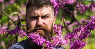 Hipster enjoys spring near violet blossom. Fragrance concept. Bearded man with fresh haircut posing with bloom of judas. Tree. Man with beard and mustache on Stock Photos