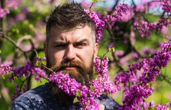 Hipster enjoys spring near violet blossom. Fragrance concept. Man with beard and mustache on strict face near flowers on. Sunny day. Bearded man with fresh Stock Images