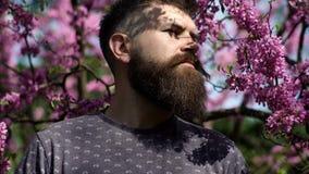Hipster geniet van de lente dichtbij violette bloesem Geurconcept Mens met baard en snor op strikt gezicht dichtbij bloemen  stock videobeelden