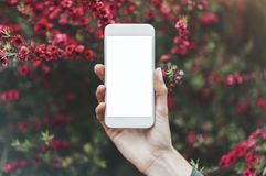 Hipster texting on smartphone or technology, mock up of blank screen. Girl using cellphone on red flowers background. Hands hold. Ing gadget on blur. Mockup stock images