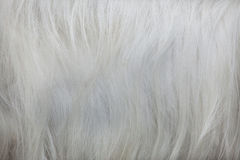 Hircus aegagrus Capra козы Girgentana абстрактная текстура шерсти конца предпосылки вверх стоковые фото