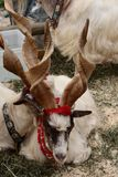 Hircus aegagrus Capra козы Girgentana стоковое изображение rf