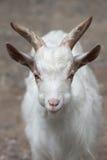 Hircus aegagrus Capra козы Girgentana стоковое фото rf