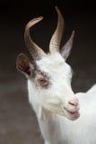 Hircus aegagrus Capra козы Girgentana стоковое изображение