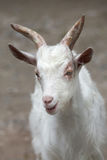 Hircus aegagrus Capra козы Girgentana стоковые фото
