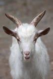 Hircus aegagrus Capra козы Girgentana Стоковые Изображения RF