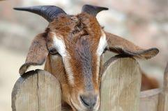 Hircus d'aegagrus de Chèvre-Capra Photographie stock libre de droits