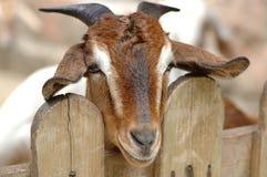 Hircus d'aegagrus de Chèvre-Capra Images libres de droits