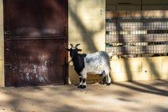 Hircus del aegagrus del Capra de la cabra en el parque zool?gico Barcelona imagen de archivo