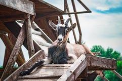 Hircus del aegagrus del Capra de la cabra nacional que miente en una plataforma de madera contra el cielo nublado imagen de archivo libre de regalías