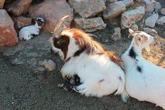 Hircus del hircus del Capra y sus pequeños en el parque zoológico Imagen de archivo libre de regalías
