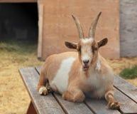 Hircus di aegagrus della capra della capra Immagine Stock Libera da Diritti