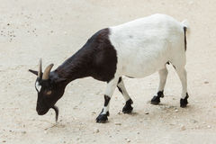 Hircus di aegagrus della capra della capra domestica Immagine Stock Libera da Diritti