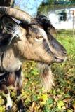 Hircus do aegagrus da cabra da cabra doméstica foto de stock royalty free