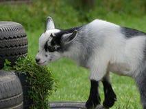 Hircus van Capraaegagrus - Afrikaanse Pygmy geit stock foto's