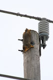 Hire Wire. Squirrel upside down on electical post royalty free stock image