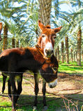 Hired Help. Local donkeys hired to mow the grass Royalty Free Stock Photo