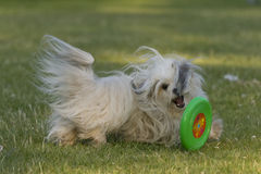 Hiro Havanese dog Royalty Free Stock Photo