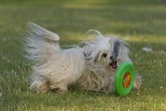 Hiro Havanese dog. Hiro the havanese dog playing around with his frisbee Royalty Free Stock Photo