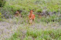 Hirola in der Savanne Lizenzfreies Stockfoto