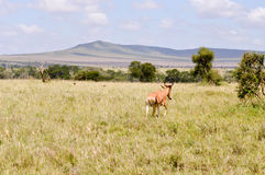 Hirola isolated in the savannah Royalty Free Stock Images