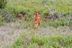 Hirola in the savanna Royalty Free Stock Photo