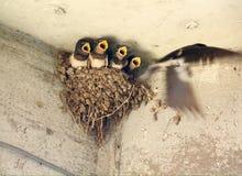 Hirondelle alimentant de jeunes poussins Photographie stock